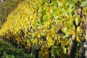 Wines of Raymond Rabold and Son